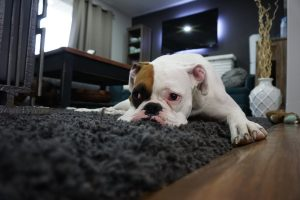dog on the carpet