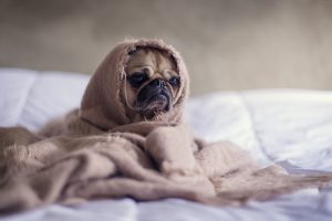 A dog in blanket